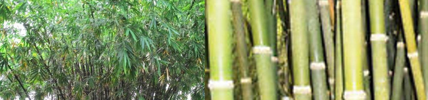 Tissue Culture Bamboo - Sai Lasya Hi-Tech Nursery